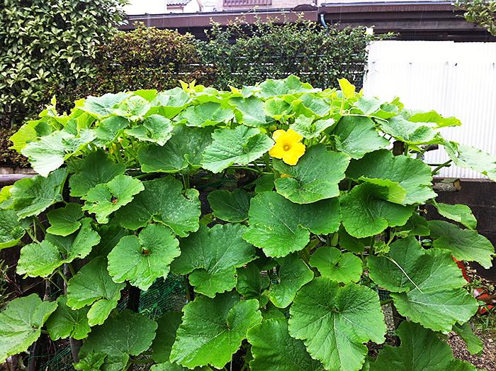 黄色く咲く南瓜の花は9割方雄花ばかり